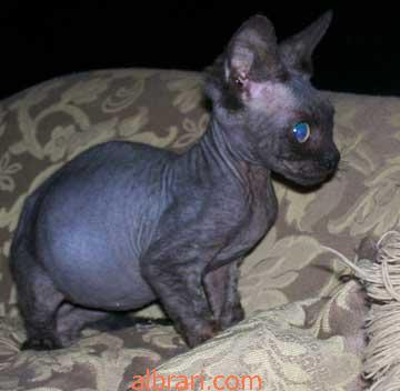 القط الفرعوني 13467621421.jpg