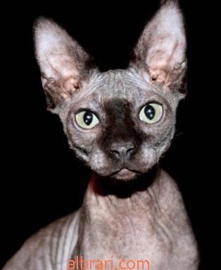 القط الفرعوني 13467621432.jpg