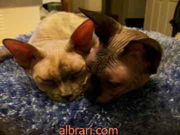 القط الفرعوني 13467621434.jpg