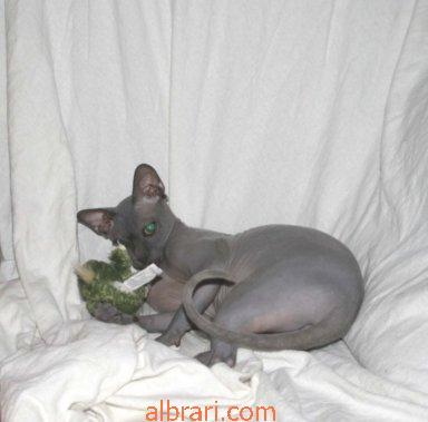 القط الفرعوني 13467621436.jpg