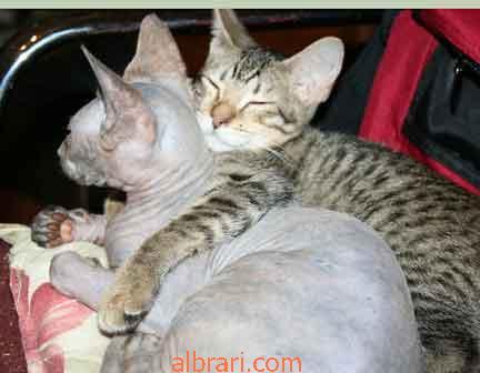 القط الفرعوني 13467621437.jpg