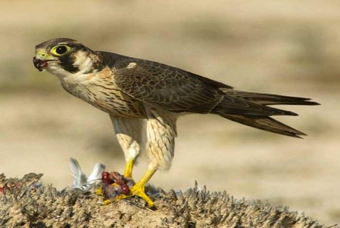 الفرق بين الصقور والطيور الأخرى بواسطة الخزز1 الأرشيف منتديات مكشات