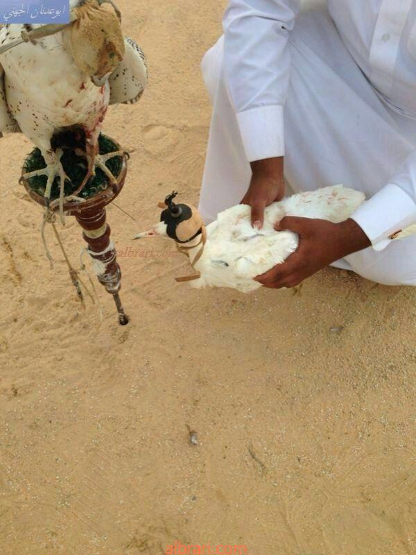 الحباري الابيض حباري بيضاء صيد حباري ابيض في الاحساء صيد 13859617362.jpg