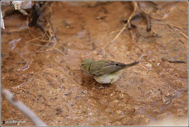 حملة لاتنسو الطيور الماء 1436 14344812715.jpg