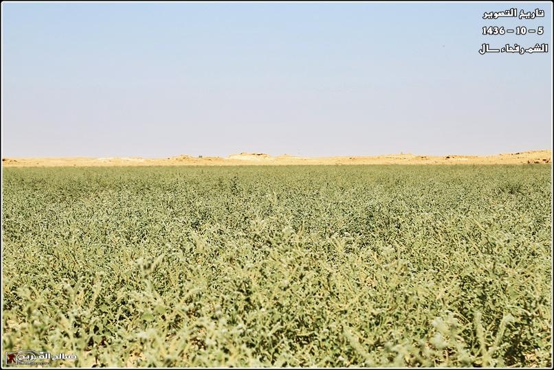 فياض خضراء صيفية صحاري رفحاء 14375975711.jpg