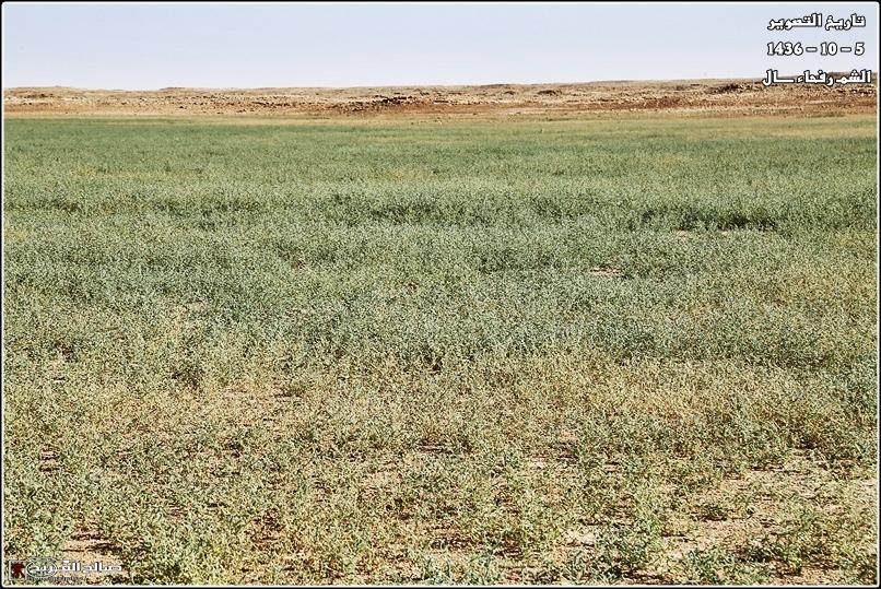 فياض خضراء صيفية صحاري رفحاء 14375975715.jpg
