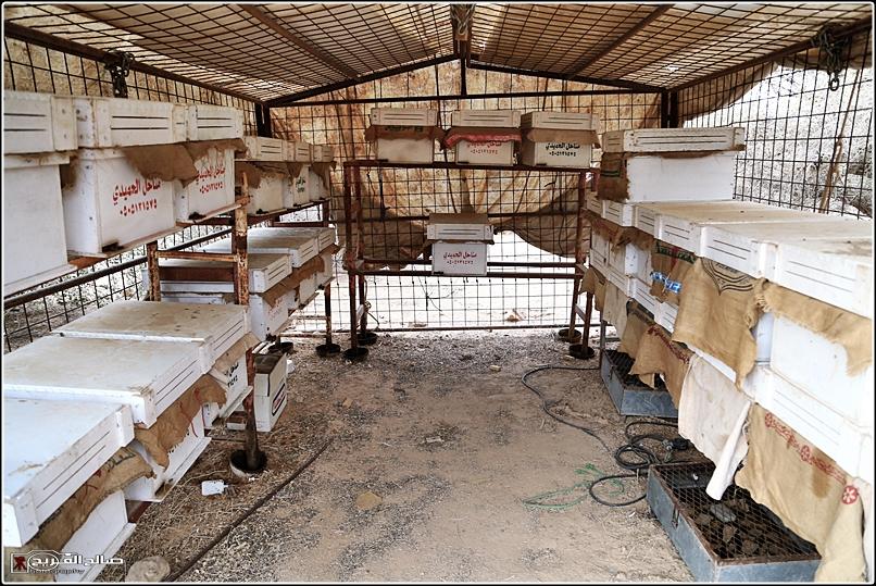 طريقة النحل صحاري رفحاء 1437 14452882651.jpg
