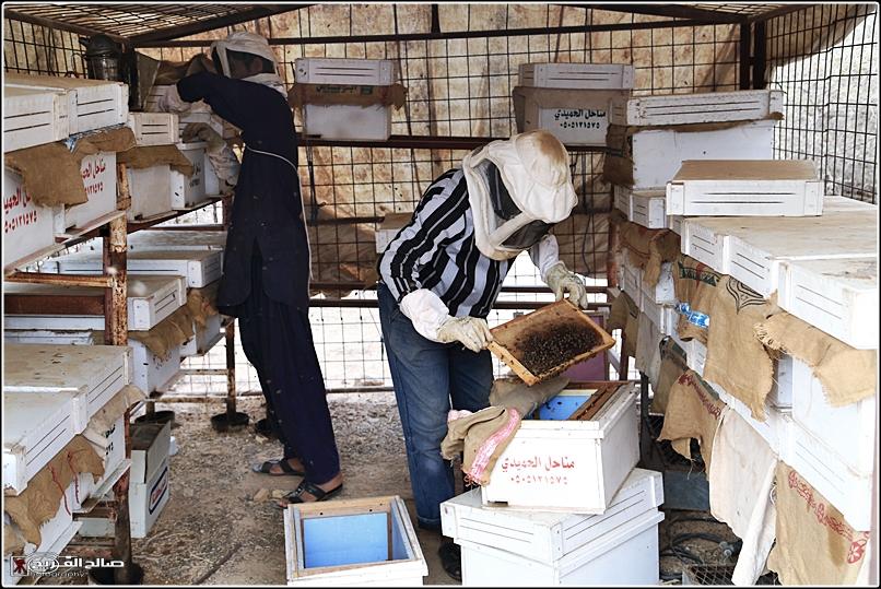 طريقة النحل صحاري رفحاء 1437 144528826511.jpg