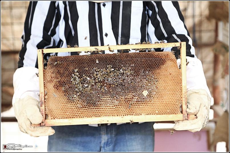 طريقة النحل صحاري رفحاء 1437 144528826512.jpg