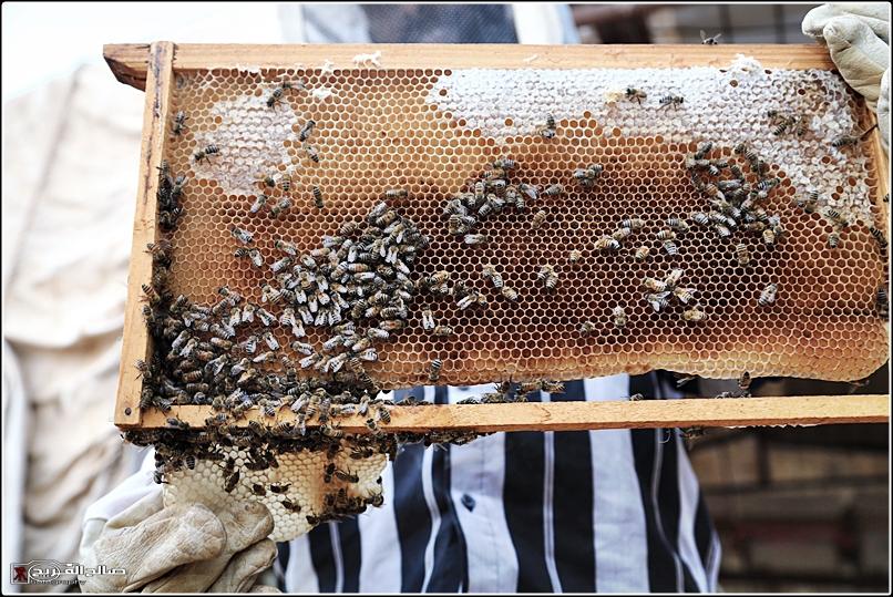 طريقة النحل صحاري رفحاء 1437 144528826513.jpg