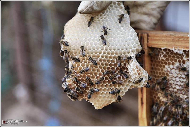 طريقة النحل صحاري رفحاء 1437 144528826514.jpg