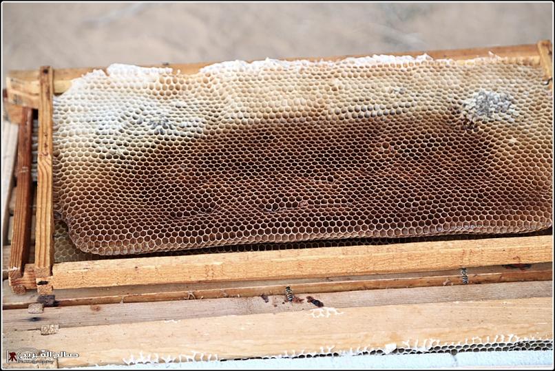 طريقة النحل صحاري رفحاء 1437 144528826515.jpg