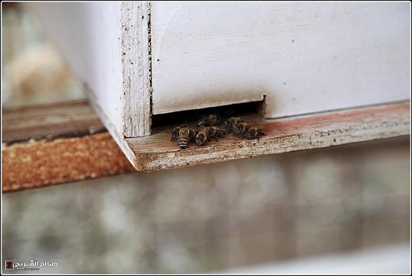 طريقة النحل صحاري رفحاء 1437 14452882652.jpg
