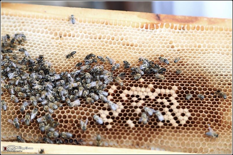 طريقة النحل صحاري رفحاء 1437 14452882656.jpg