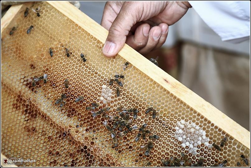 طريقة النحل صحاري رفحاء 1437 14452882657.jpg