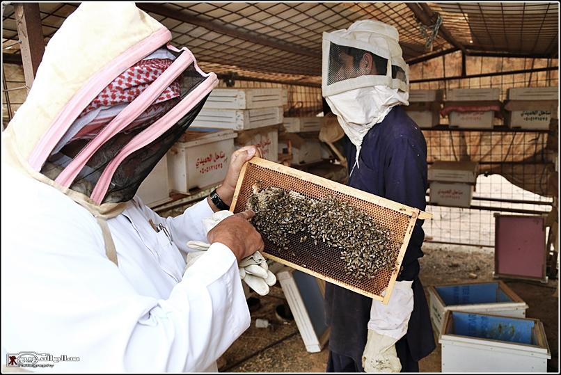 طريقة النحل صحاري رفحاء 1437 14452882658.jpg