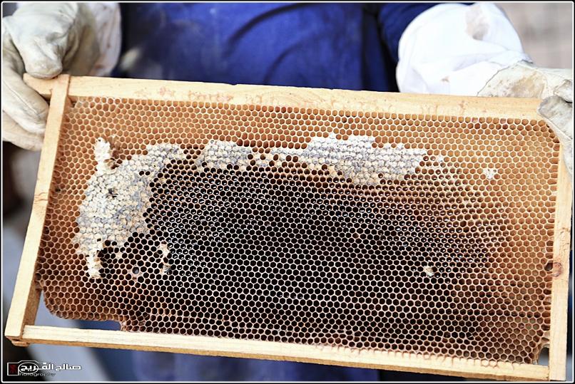 طريقة النحل صحاري رفحاء 1437 14452882659.jpg